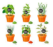 Basil and Thyme Collection Vector Illustration
