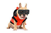 cute french bulldog with a super hero costume isolated on white