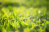 Green grass in drops of early morning fresh dew on field. Natural summer meadow background. Green lawn ecosystems. Selective soft focus. Springtime freshness concept