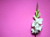 White gladioli flowers