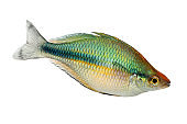 Turquoise Rainbowfish Aquarium Fish Lake Kutubu rainbowfish Melanotaenia lacustris