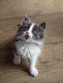Gray-white fluffy kitten plays fun