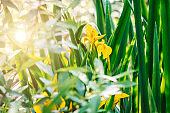 Iris pseudacorus, yellow flag, yellow iris, water flag.