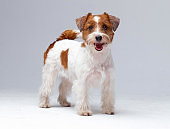 Jack Russell Terrier in studio