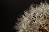 Dandelion flower head. Macro photo.