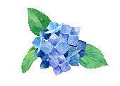 Watercolor illustration of a single hydrangea