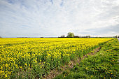 Blooming yellow rapeseed field against clear blue sky, Latvia. Idyllic rural scene. Agricultural, biotechnology, fuel and food industry, alternative energy, environmental conservation and production