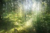 Beautiful evergreen coniferous forest on a clear autumn day. Sun rays through the branches. Finland