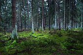 A view of the misty evergreen forest, ancient tall pine tree trunks close-up. Moss on the ground. Dark landscape. Estonia