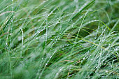 Green grass and dew close-up. Forest after the rain. Latvia