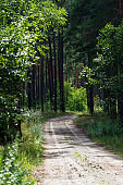A footpath through the dark green pine forest. Latvia