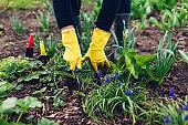 Farmer loosening soil with hand fork among spring flowers in garden. Taking care of plants