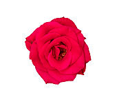 Beautiful colorful red roses flower isolated on white background