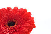 Red gerber flower isolated on white backround with copyspace