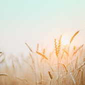 Golden wheat field with sunset background.