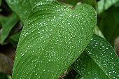 Raindrops on a green leaf. Natural hydration of plants.