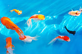 Colored tropical fish in a decorative pond. Orange decorative fish on a blue background. Flock of ornamental fish