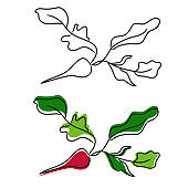Hand drawn illustration of radish. Doodle style. Colorful and linear vegetables.