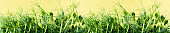 Young shoots of green pea microgreens on a yellow background. Spring concept. Copy space and Banner.