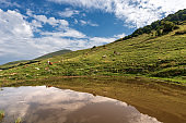 Monte Baldo - Pastures in Italian Alps with Cows and a small Pond