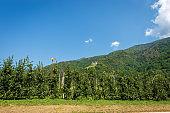 Apple Orchard in Valsugana or Sugana Valley - Trentino Italy
