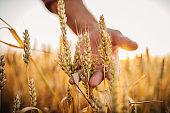 One farmer examining wheat crops