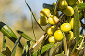 Bunch of organic green olives on the tree