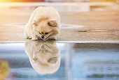 Cute puppies Pomeranian Mixed breed Pekingese dog standing on the floor that has water and reflection
