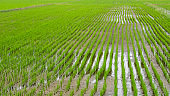 Asian green rice fields. Closeup image.Top view of rices paddy field, South Korea