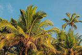 Palm trees against the blue sky. GOA travel tourism background. Anjuna, India