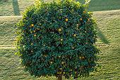Tangerine tree with many ripe mandarins in Bahai garden in Haifa, Israel