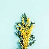 Flowers composition. Mimosa flowers on blue background. Spring concept. Flat lay, top view