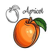 Apricot vector drawing icon