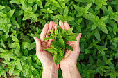 Close up woman hands holding fresh mint