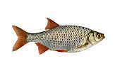 Fresh alive Common Rudd redfin fish isolated on white background