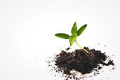 Close-Up Of Small Plant Growing. plant growth evolution from seed to sapling, ecology concept. seedling, cultivation. agriculture, horticulture.