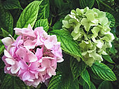 Hydrangea macrophylla is a beautiful bush of pink and white hydrangea macrophylla flowers that bloom in the garden in summer. Close-up, soft focus, added noise. Beautiful flowers. Beauty in nature.