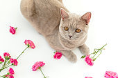 Roses flowers and cute scottish kitten on white background. Flat lay, Top view