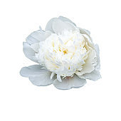 White peony flower blooms in the garden against the backdrop of green leaves.