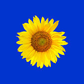 Sunflower repetitive pattern on blue background.