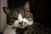 Close Up Face Tabby Calico Cat with Green Eyes
