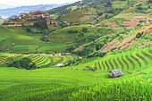 discovery in northwest vietnam with green and yellow colors of rice terraces on the mountain range and majestic scenery and tranquil of rural