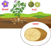 Parts of plant. Morphology of potato plant with title