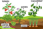 Landscape with vegetable garden. Potato, onion, carrot cucumber, tomato and radish plants with titles on garden bed