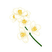 beautiful branch flower jasmine cartoon watercolour style isolated on white background. Hand-draw branch flowers. Design element for greeting card and invitation. Vector illustration