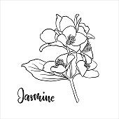 black and white branch flower jasmine outline isolated on background with word jasmine. Hand-draw contour line and strokes branch flowers. Design element for greeting card and invitation
