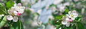 Banner 3:1. White apple tree blossom against blue sky. Spring background. Copy space