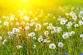 Field with blowball dandelions against blue sky and sun beams. Spring background. Soft focus