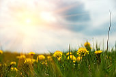 Field with yellow dandelions against blue sky and sun beams. Spring background. Soft focus
