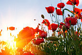 Red poppy flowers field  looking up towards sky and sun beams. Spring nature background. Soft focus